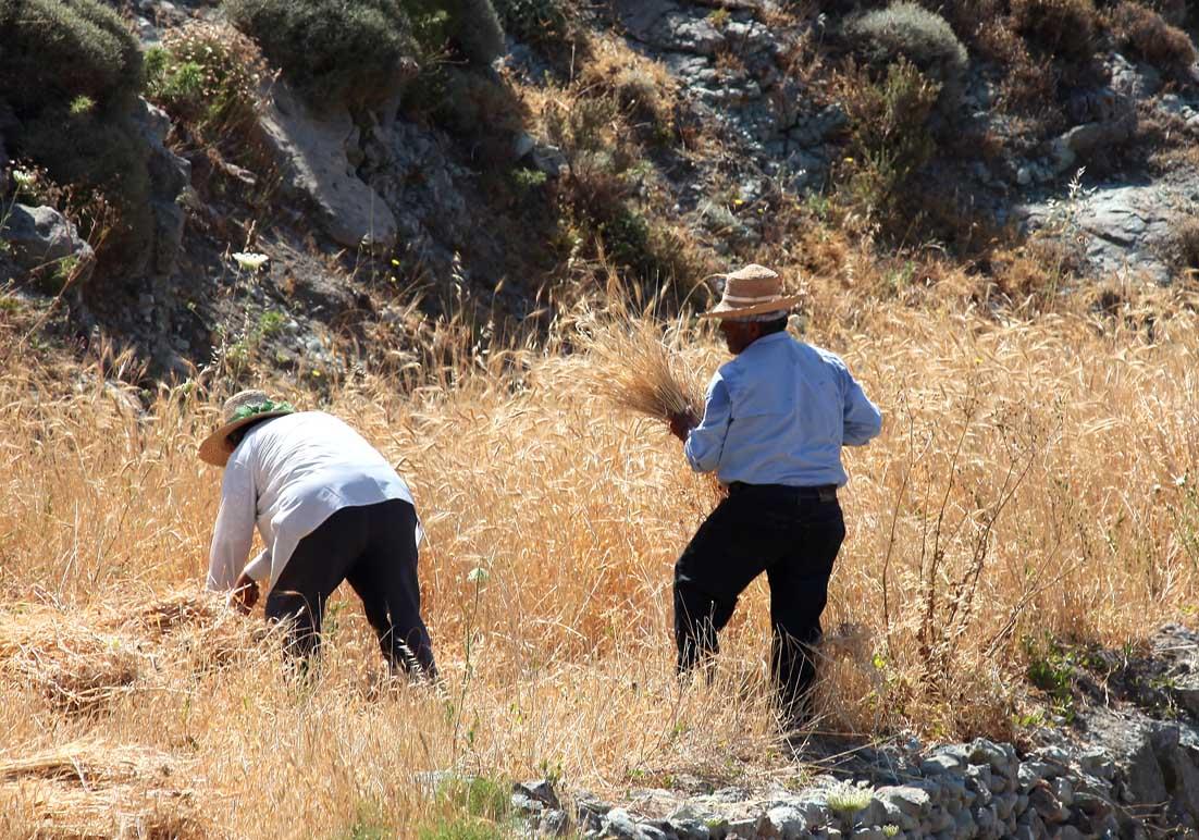 Kimolos  - Getreideernte - Ursprüngliche Landwirtschaft - pristine landscape