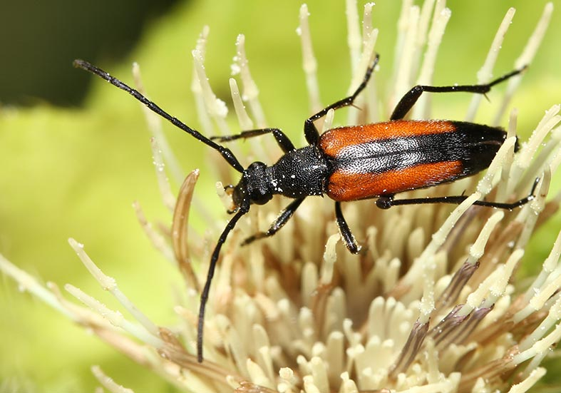 Stenurella melanura - UFam. Lepturinae  -  Weibchen - Cerambycidae - Bockkäfer - long-horned beetles