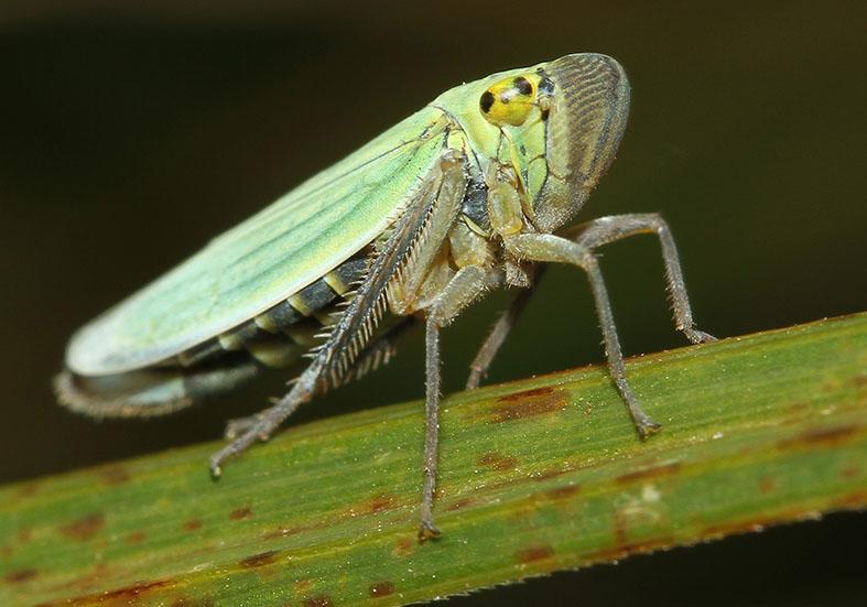 Cicadella viridis - Cicadella viridis - Cicadoidea - Zikaden - cicadas