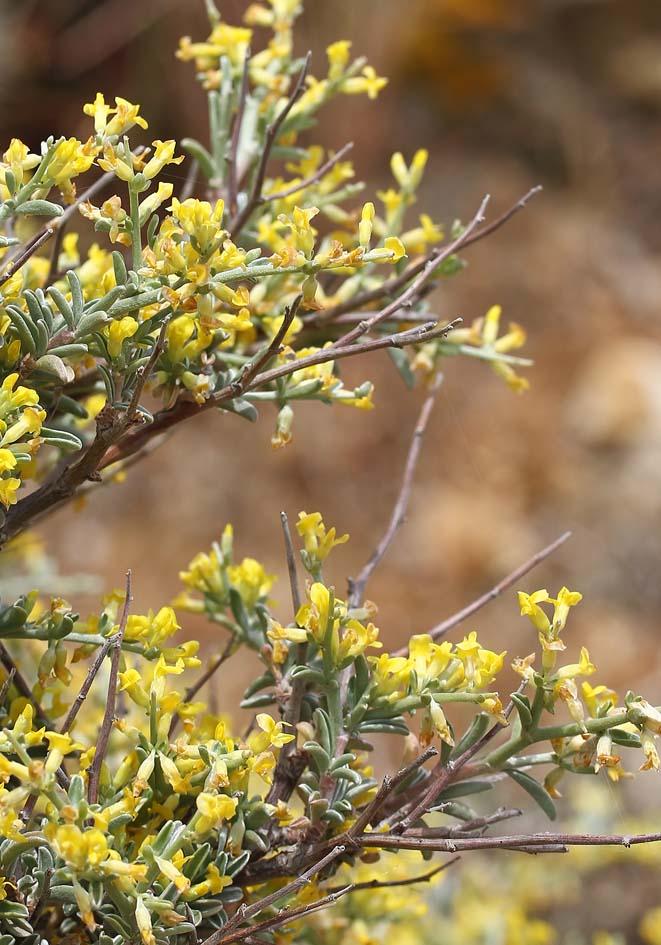 Anthyllis hermanniae - Dorniger Wundklee  -  - Phrygana