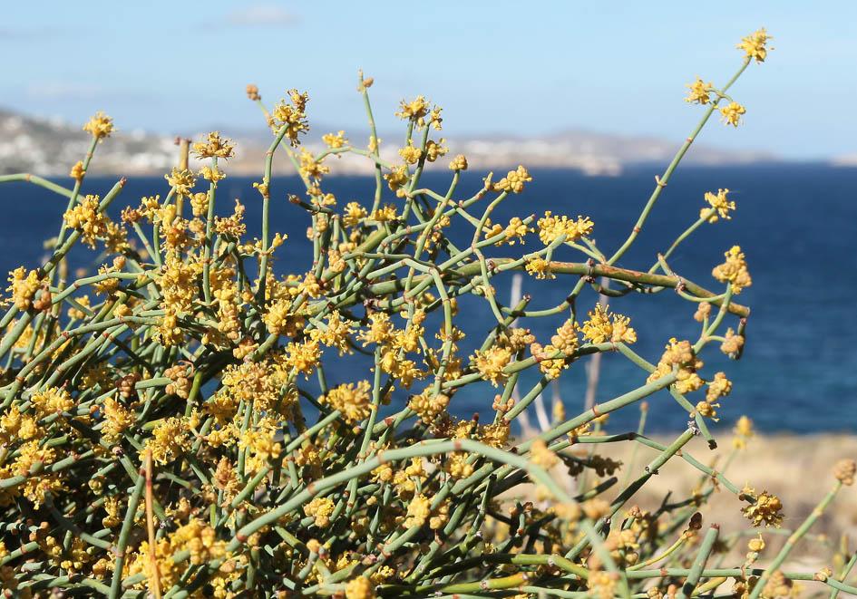 Ephedra distachya - Gewöhnliches Meerträubel -  - Saline Lebensräume - saline environments