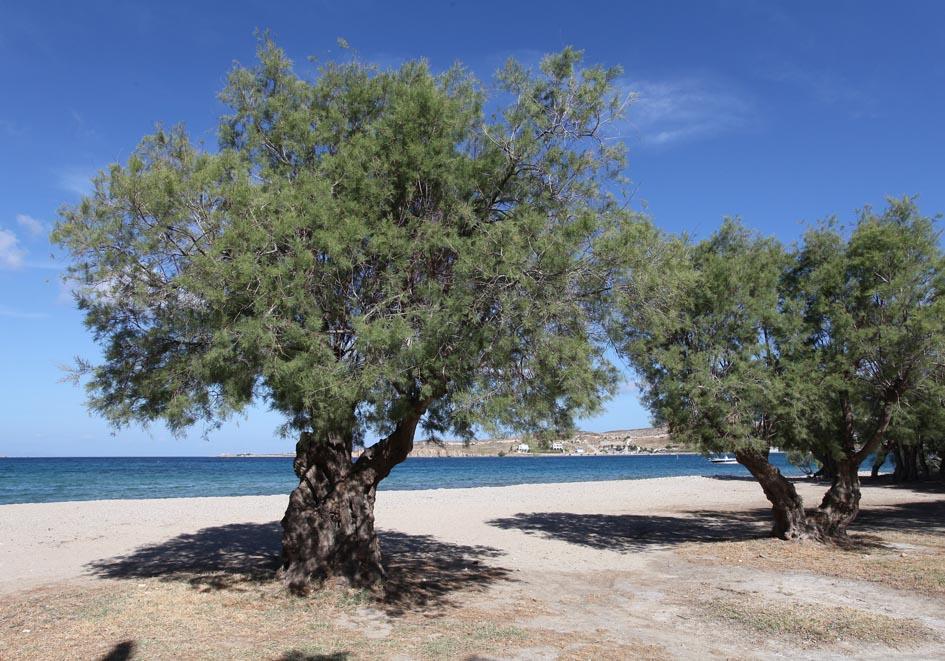 Tamarisken - tamarix sp. - tamariscs -  - Saline Lebensräume - saline environments