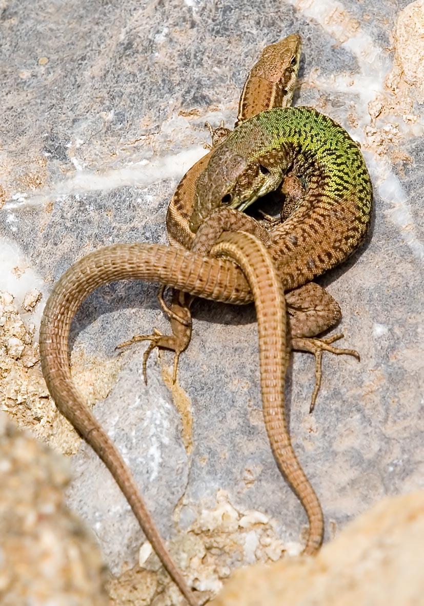 Podarcis erhardii - Kykladeneidechse, Ägäiseidechse - Amorgos - Lacertidae - Eidechsen - Lizards