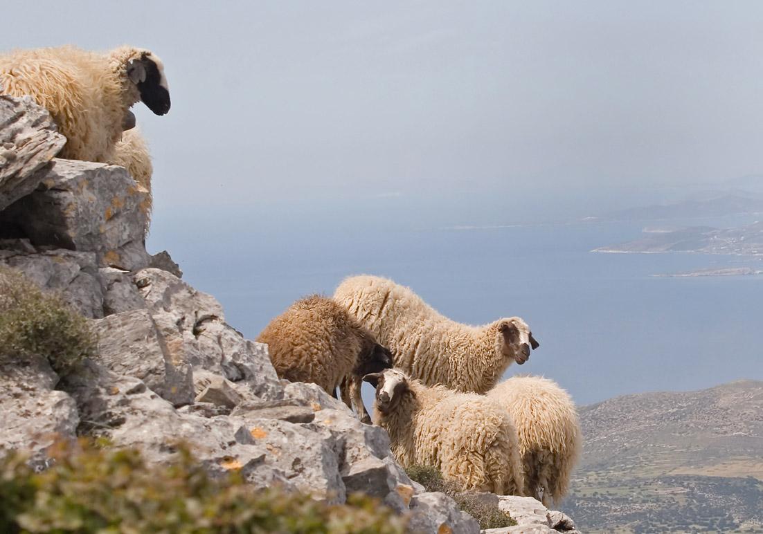 Schafe am Zas (Naxos) -  - Haustiere - domestic animals
