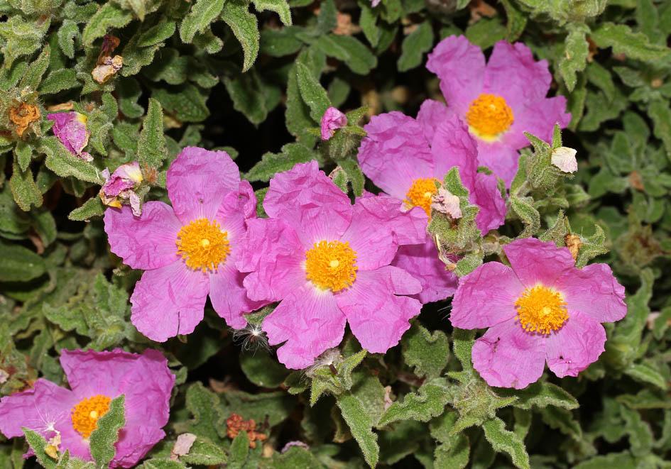 Cistus creticus - Kretische Zistrose - Cretan cist rose  -  - Phrygana