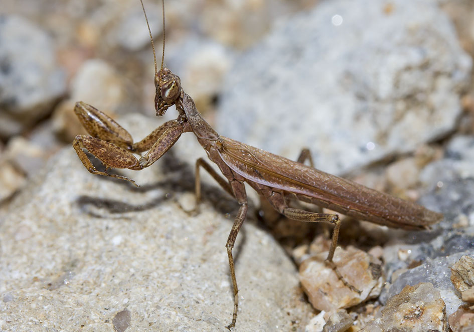 Ameles spallanzania - male - Sardinien - Mantodea - Fangschrecken - praying mantises