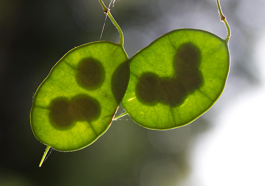 Samen -  - Grün - green