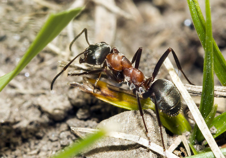 Formica rufibarbis - Rotbärtige Sklavenameise  -  - Formicidae - Ameisen - ants