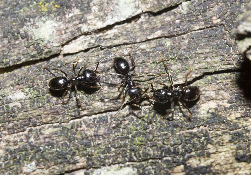 Lasius fuliginosus - Glänzendschwarze Holzameise  -  - Formicidae - Ameisen - ants