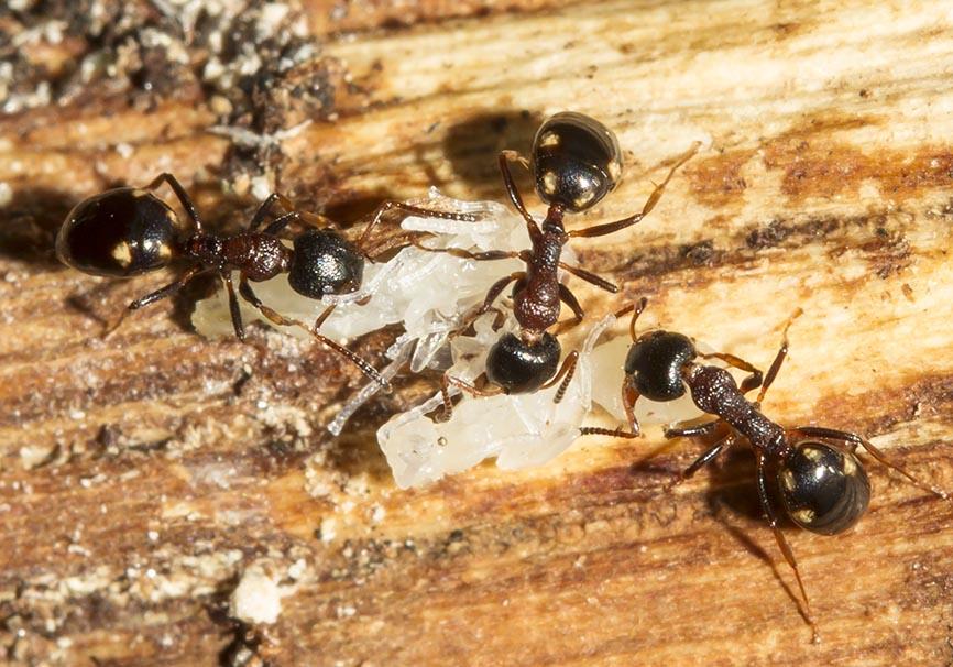Dolichoderus quadripunctatus - Vierpunktameise -  - Formicidae - Ameisen - ants