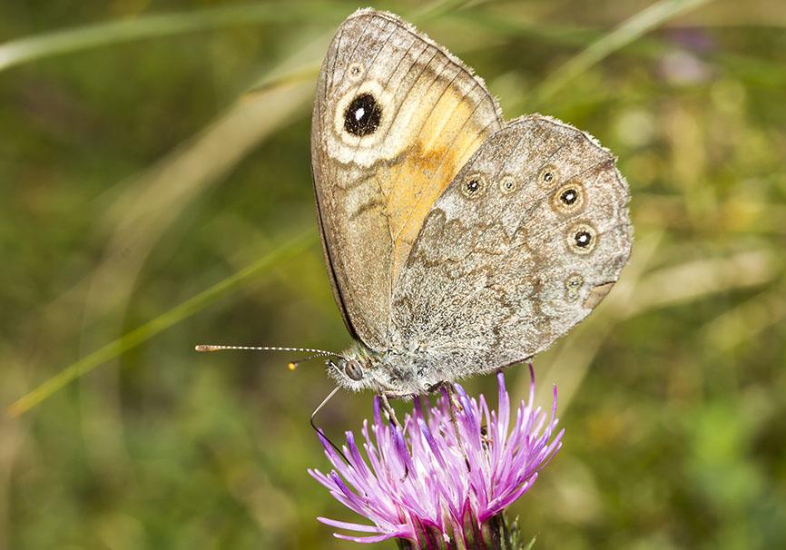 Lasiommata maera - Braunauge -  - Nymphalidae - Edelfalter - brush-footed butterflies