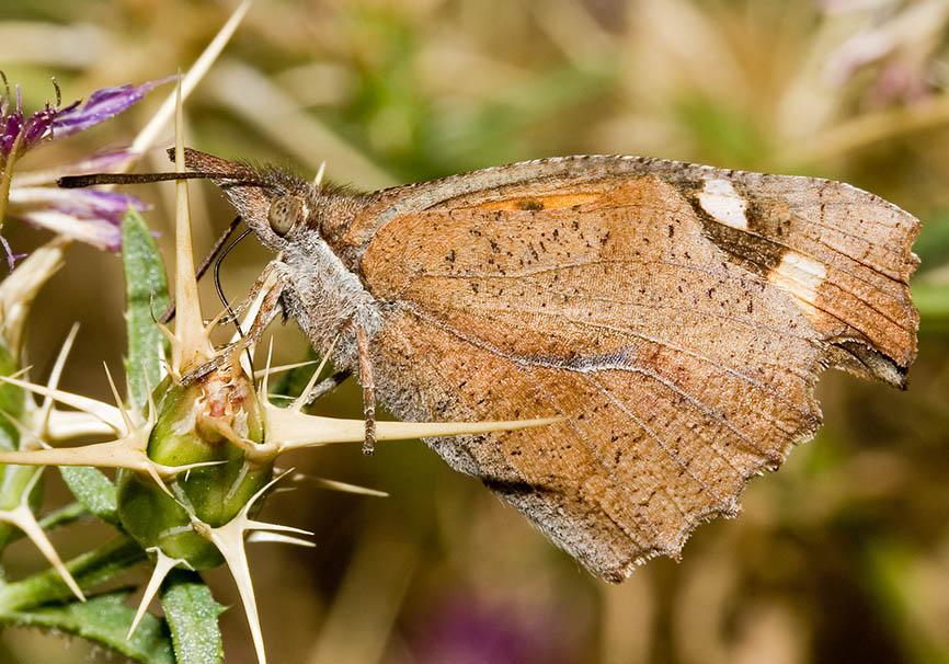 Ibythea celitis - Zürgelbaum Schnauzenfalter - Kroatien - Nymphalidae - Edelfalter - brush-footed butterflies
