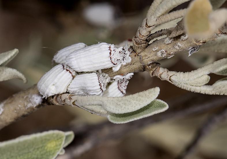 - Fam. Margarodidae (Höhlenschildläuse)  - Pilion (Griechenland) - Sternorrhyncha - Pflanzenläuse