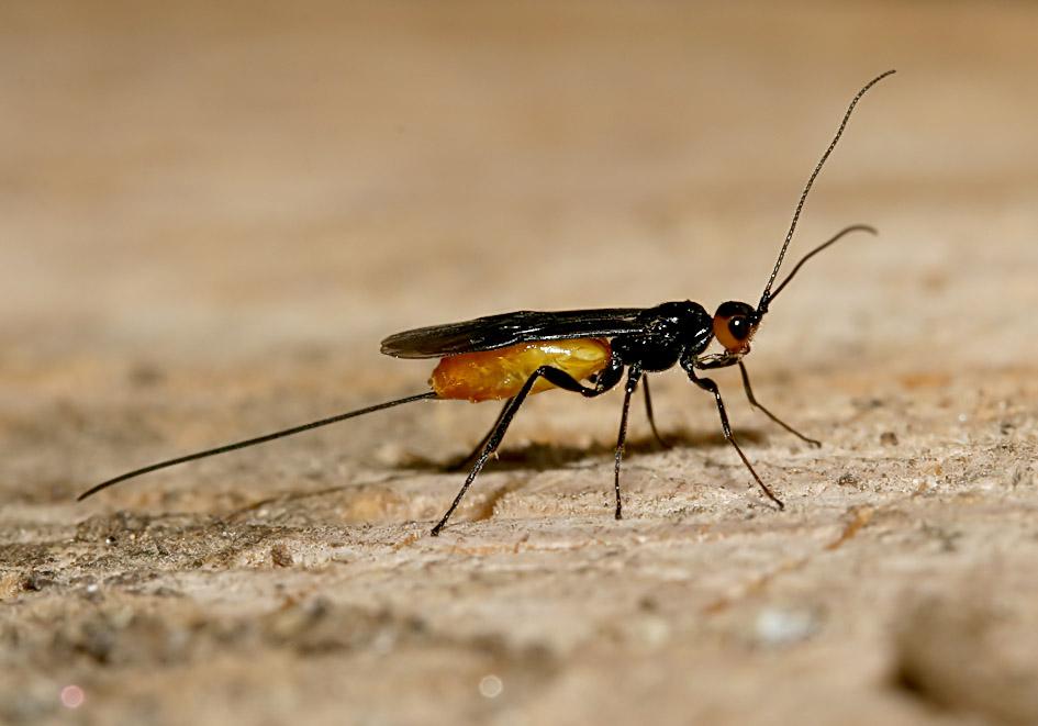 Braconidae - Brackwespen -  - diverse Hymenopteren - other hymenopteras