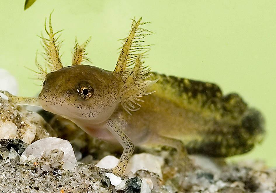 Ichthyosaura alpestris - Alpenmolch-Larve -  - Amphibienentwicklung - amphibian development