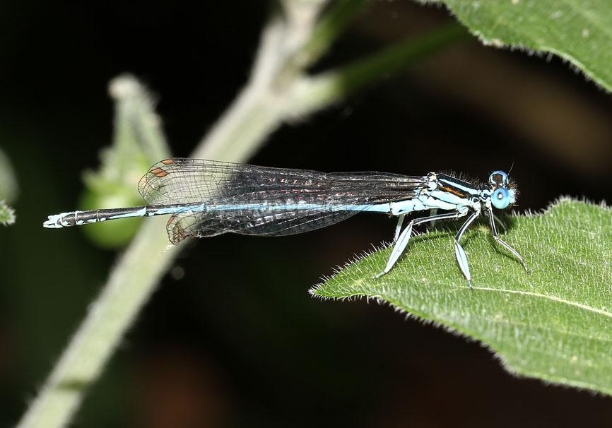 Platycnemis pennipes  - Blaue Federlibelle - Fam. Platycnemididae  -  Naxos , Männchen - Zygoptera - Kleinlibellen - damselflies