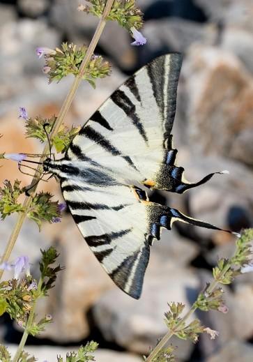 Iphiclides-podalirius-Segelfalter - Kroatien - Papilionidae - Ritterfalter - swallowtail butterfly