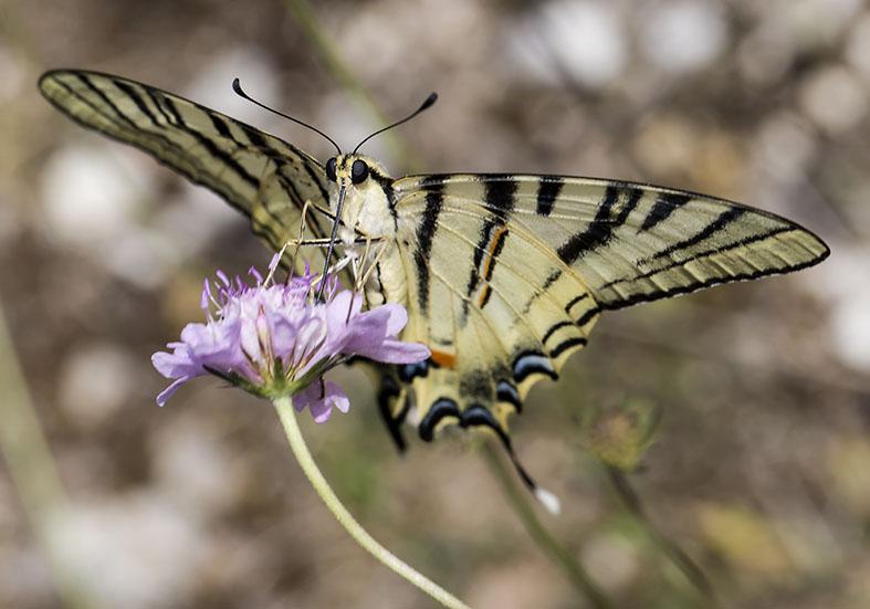 Iphiclides podalirius  - Segelfalter - Zagori (Griechenland) - Papilionidae - Ritterfalter - swallowtail butterfly