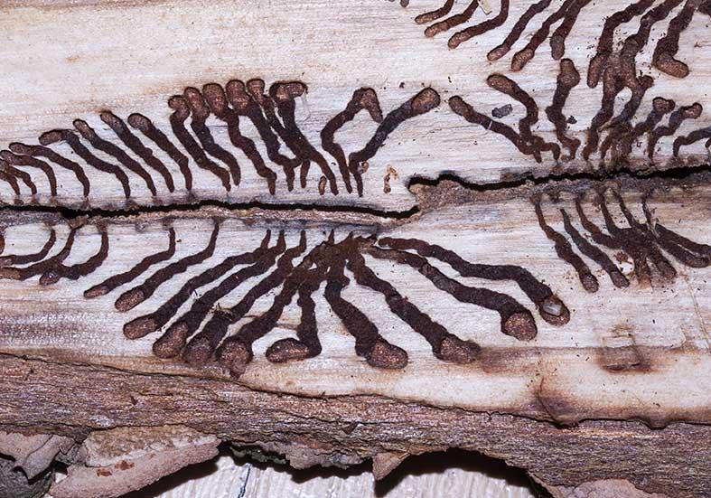 Ips typographus - Buchdrucker - Fam. Scolytidae - Borkenkäfer - weitere Käferfamilien - other beetle families