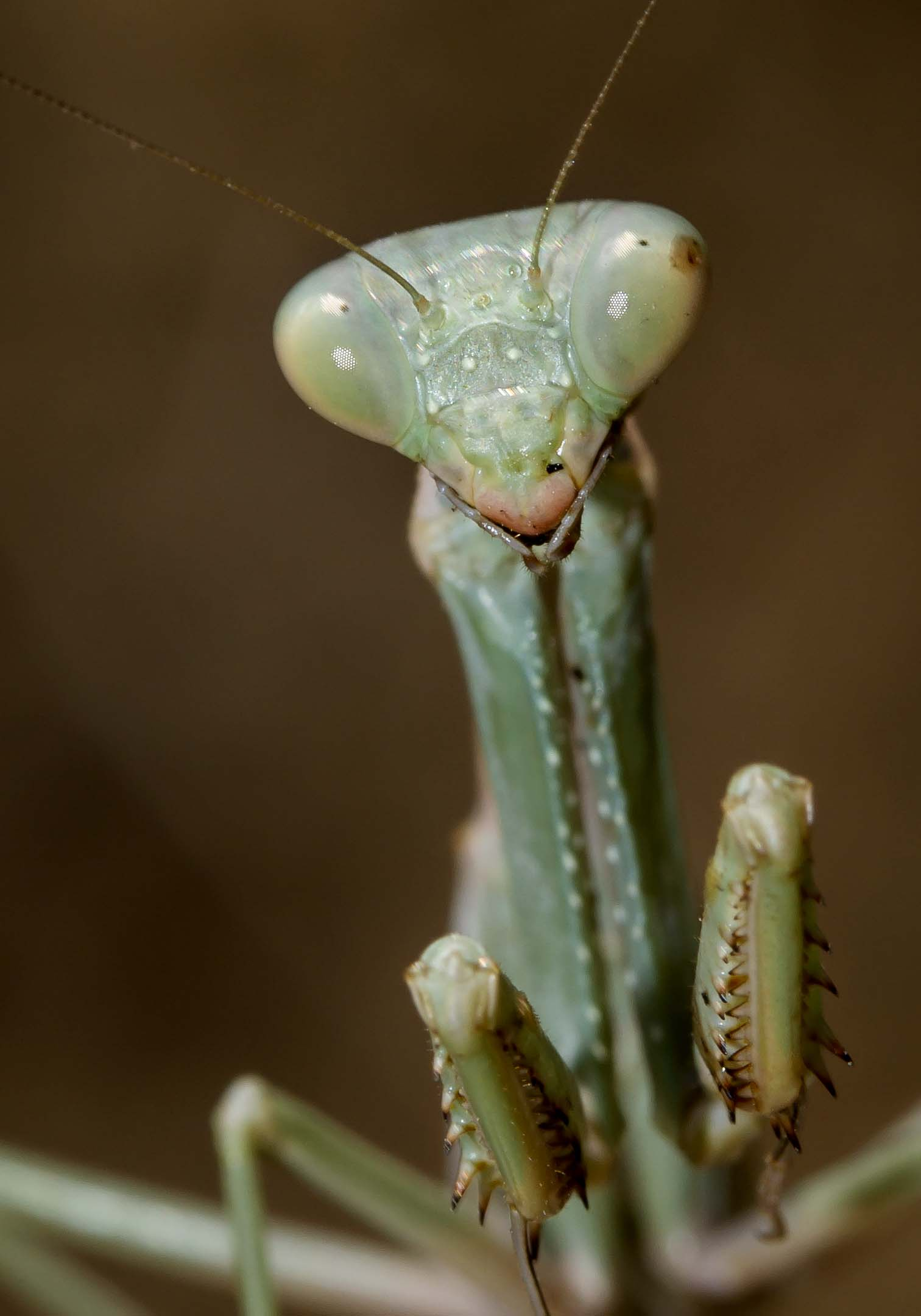 Iris oratoria - female - Naxos - Mantodea - Fangschrecken - praying mantises