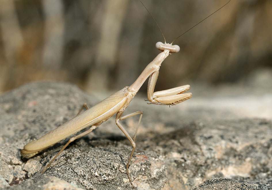 Iris oratoria - male - Kykladen - Mantodea - Fangschrecken - praying mantises