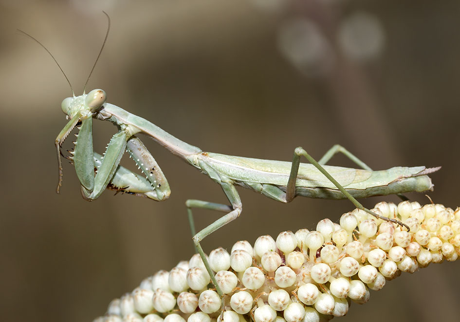 Iris oratoria - female - Naxos - Mantodea - Fangschrecken - praying mantises