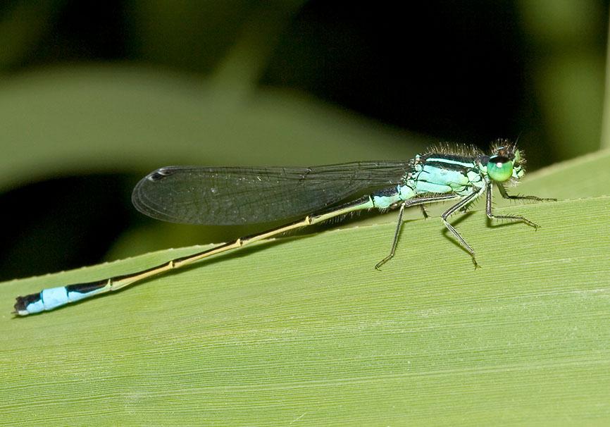 Ischnura elegans - Große Pechlibelle - Fam. Coenagrionidae - Schlanklibellen - Zygoptera - Kleinlibellen - damselflies