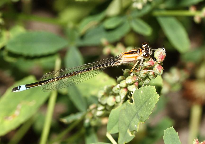 Ischnura elegans - Große Pechlibelle - Fam. Coenagrionidae  -  junges Weibchen (Lesbos) - Zygoptera - Kleinlibellen - damselflies