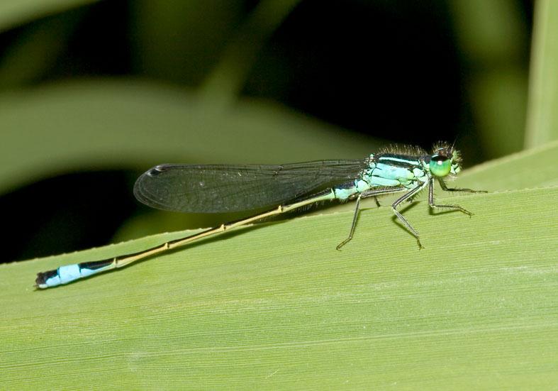 Ischnura elegans - Grosse Pechlibelle - Fam. Coenagrionidae  -  Ikaria - Zygoptera - Kleinlibellen - damselflies