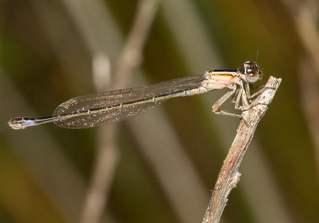 Ischnura genei - Fam. Coenagrionidae  -  Sardinien - Zygoptera - Kleinlibellen - damselflies