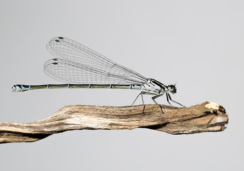 Ischnura pumilio female - Kleine Pechlibelle - Fam. Coenagrionidae - Schlanklibellen - Zygoptera - Kleinlibellen - damselflies