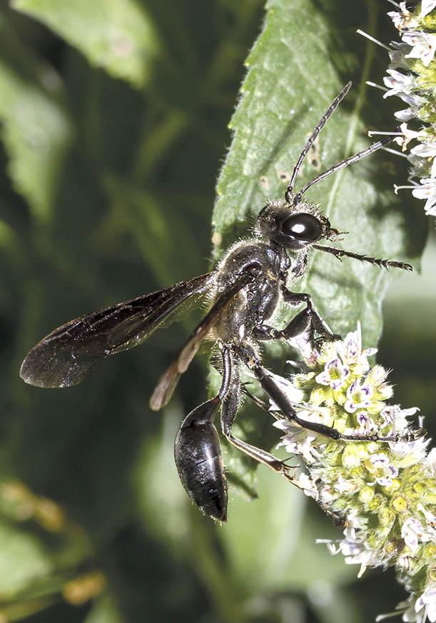 Isodontia mexicana -  - Spheciformes - Grabwespen - thread-waisted wasps