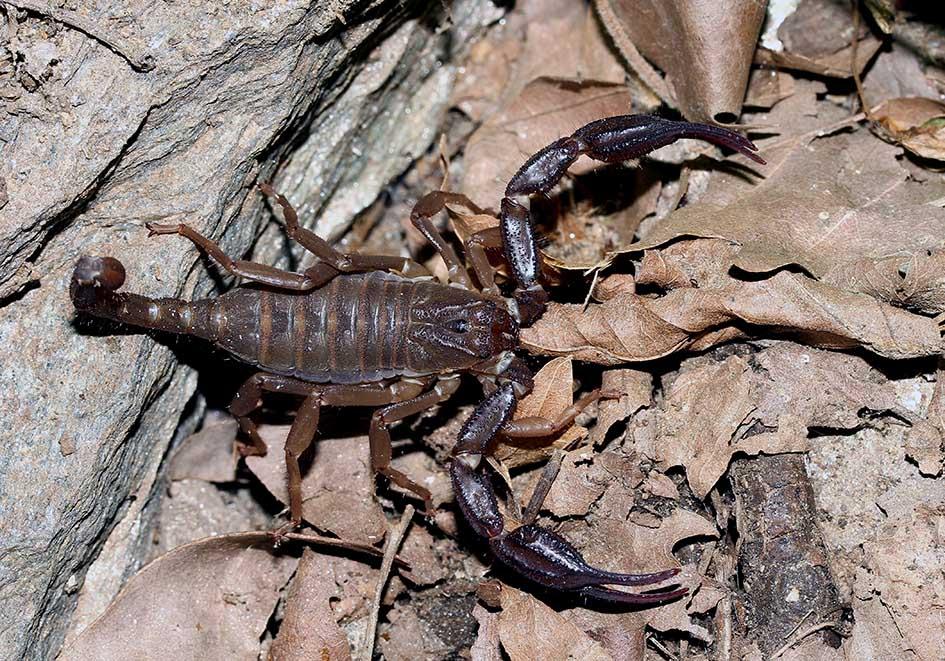 Iurus kinzelbachi  - Samos - Scorpiones - Skorpione - scorpions