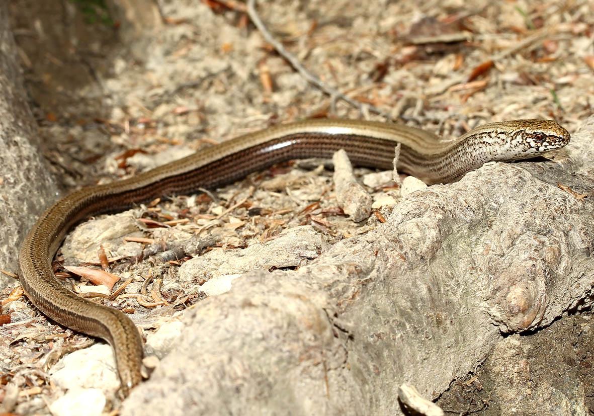 Anguis fragilis - Blindschleiche -  - Lacertilia - Echsen - lizards