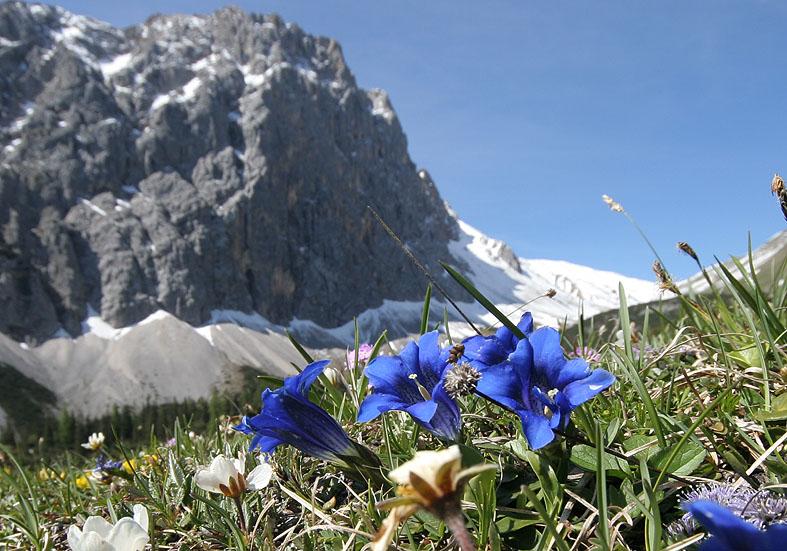 Gentiana clusii - Kalk-Glockenenzian - Fam. Gentianaceae - Alpine Rasen - alpine grassland