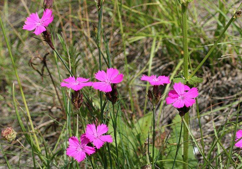Dianthus carthusianorum - Karthäuser-Nelke - Fam. Caryophyllaceae - Trockenrasen - dry grasslands
