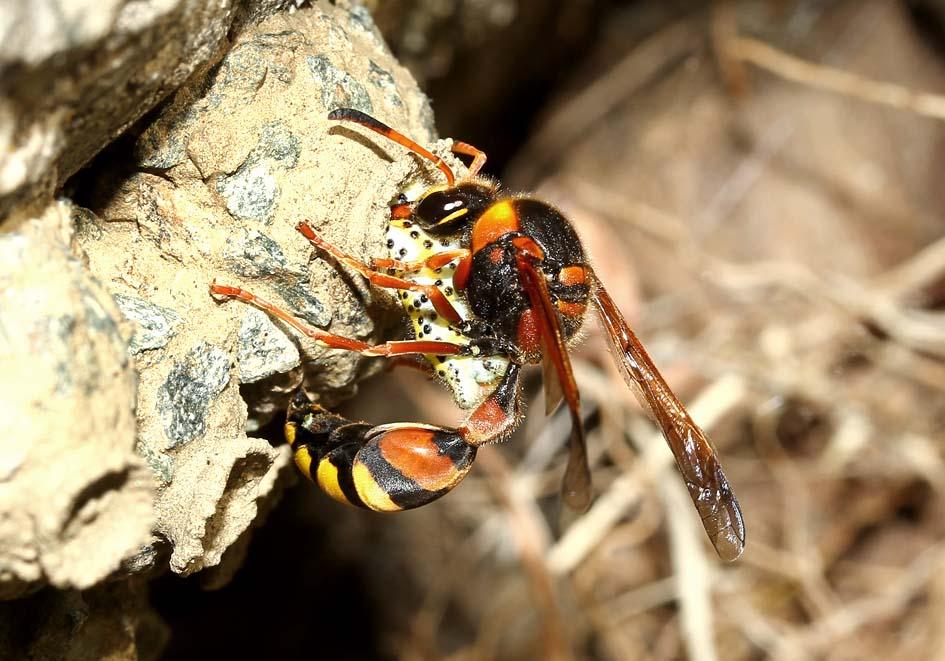 Katamenes dimidiatus - Lehmwespe - Tinos - Vespidae - Faltenwespen -wasps