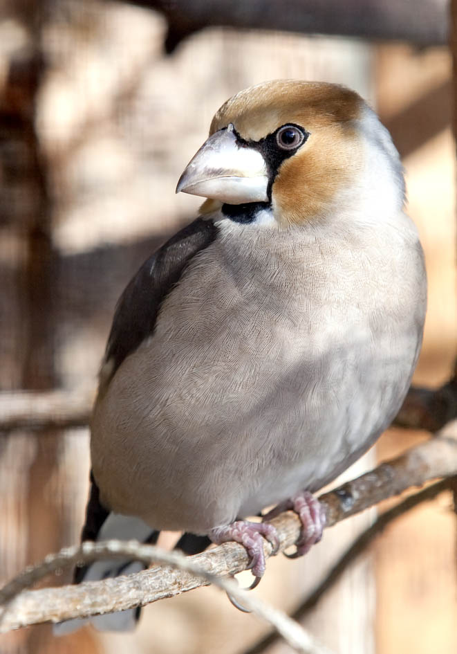 Coccothraustes coccothraustes - Kernbeißer -  - Passeres - Singvögel - songbirds