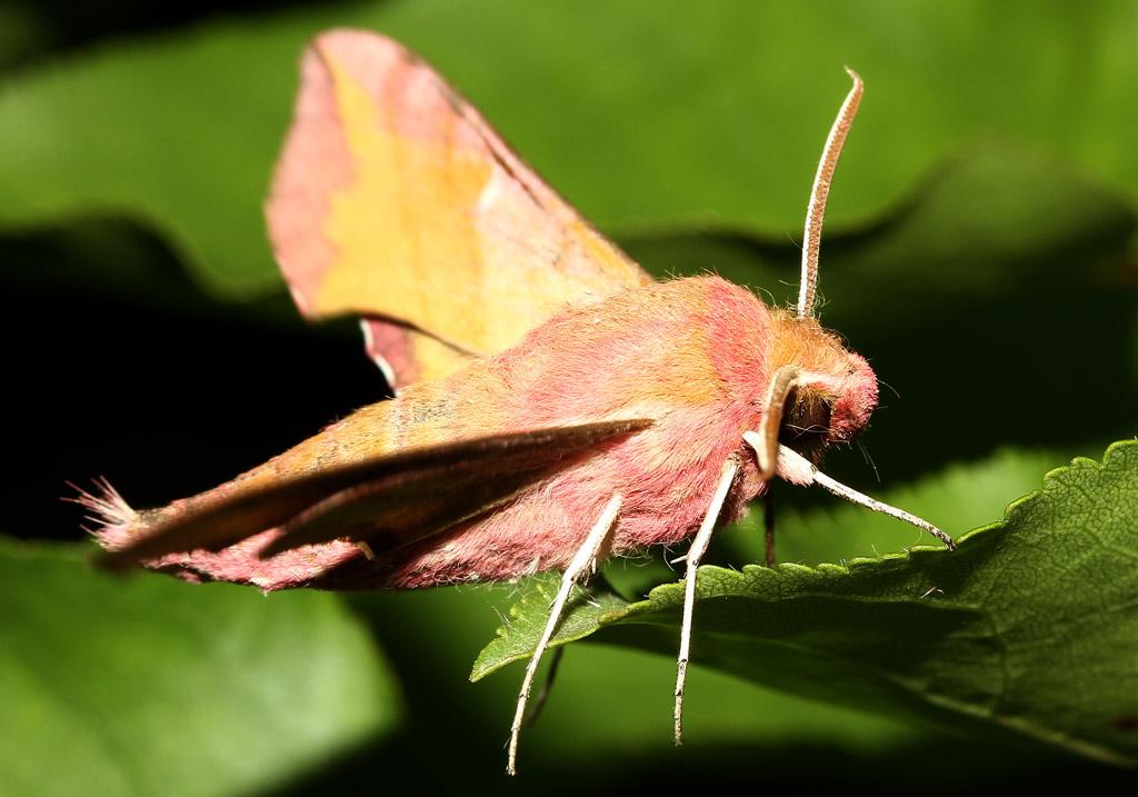 Deilephila porcellus - Kleiner Weinschwärmer  - Fam. Sphingidae  -  Toscana - Nachtfalter - moths