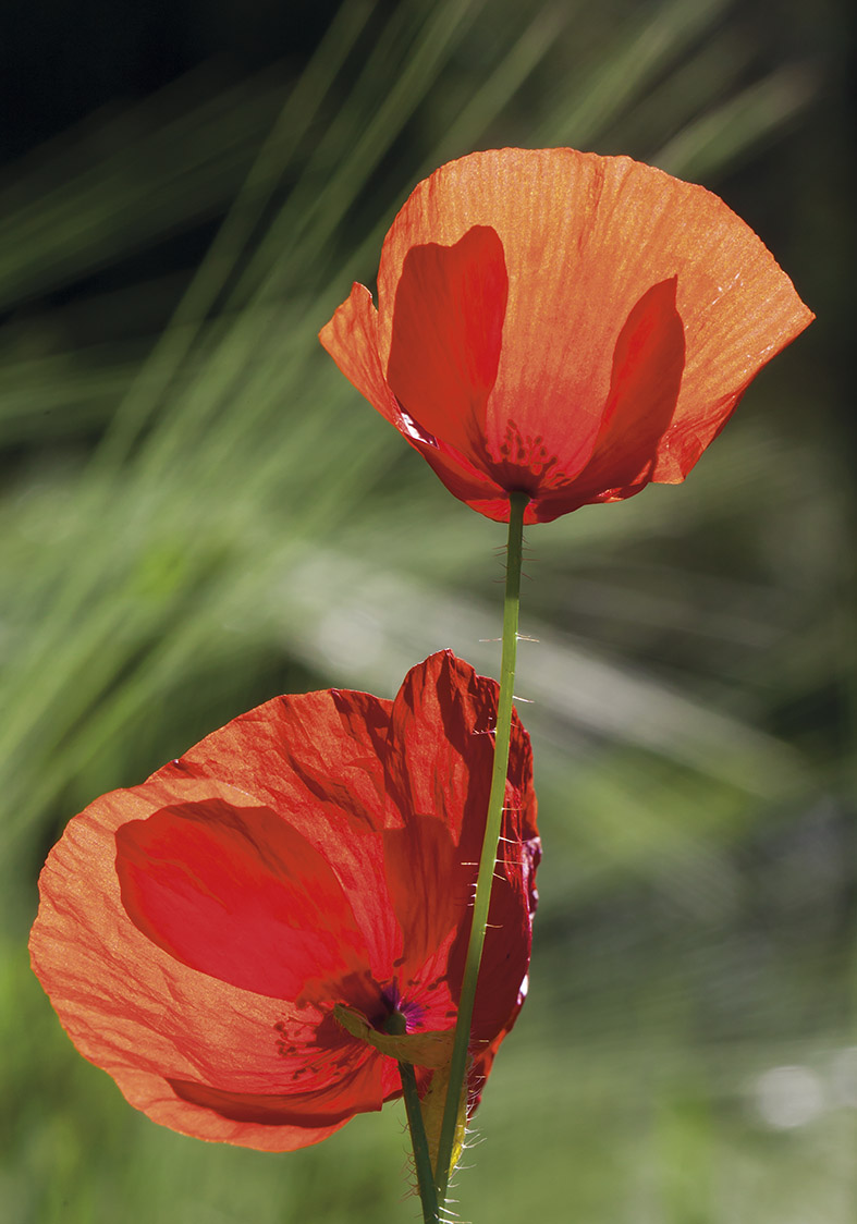 Klatschmohn - Papaver rhoeas -  - Blüten - Flowers