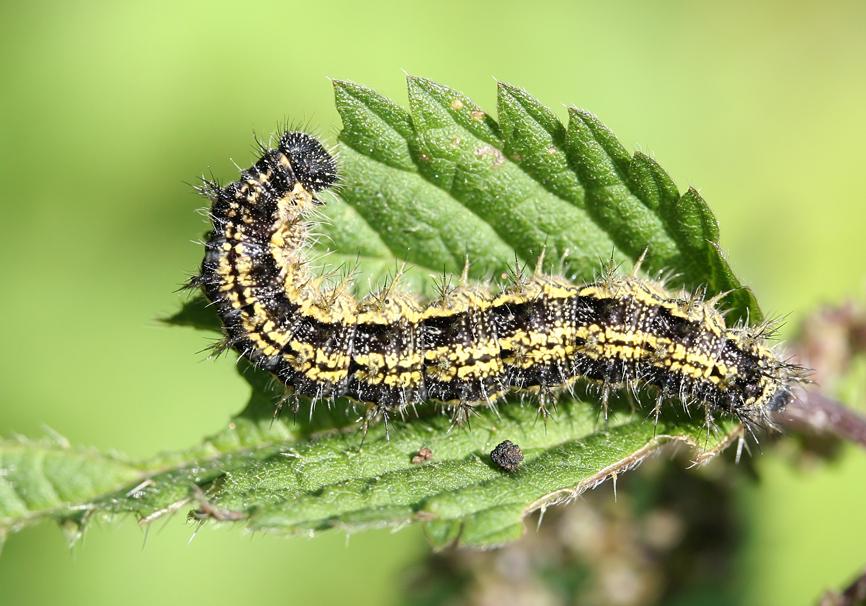 Aglais urticae - Kleiner Fuchs  -  - Nymphalidae - Edelfalter - brush-footed butterflies