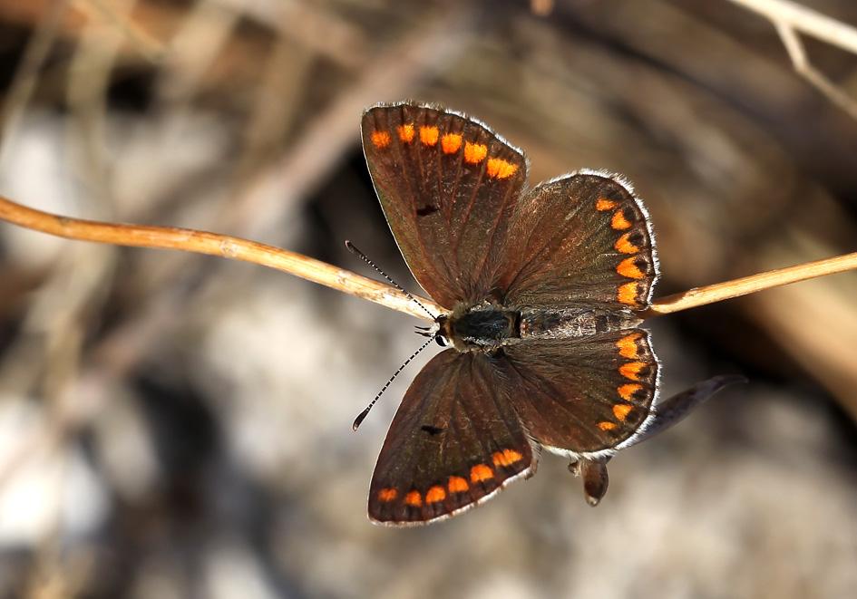 Aricia agesti - Kleiner Sonnenröschen-Bläuling   - Korfu - Lycaenidae  - Bläulinge  -  gossamer-winged butterflies
