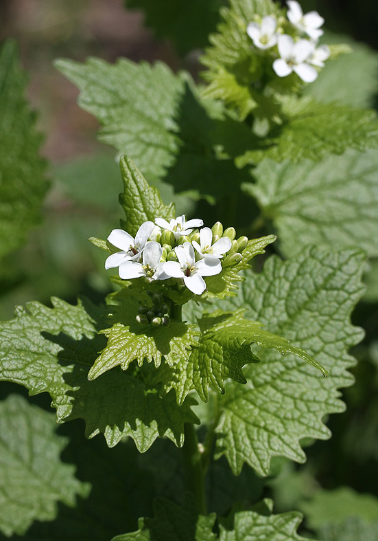 Alliaria petiolata - Knoblauchsrauke  - Fam. Brassicaceae - Wald - forest