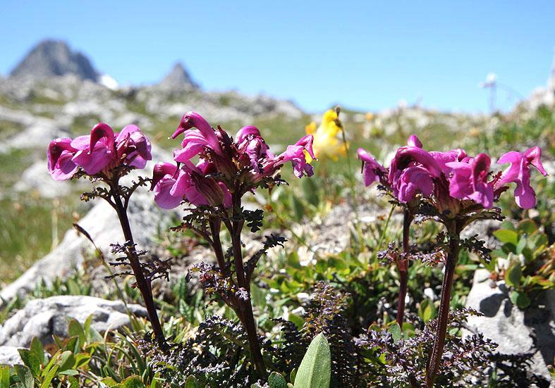 Pedicularis rostratocapitata - Kopfiges Läusekraut  - Fam. Scrophulariaceae - Alpine Rasen - alpine grassland