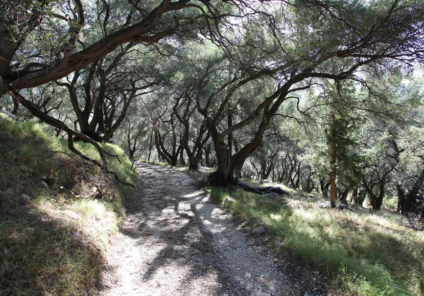 Korfu -Acharavi - Olivenbäume -  - Corfu - Kerkyra