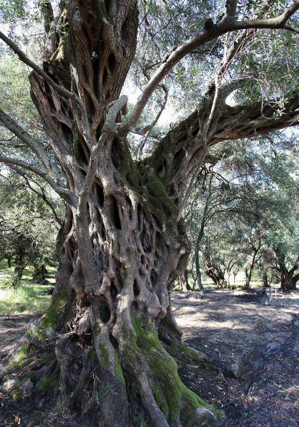 Korfu - Acharavi - Olivenbaum -  - Corfu - Kerkyra
