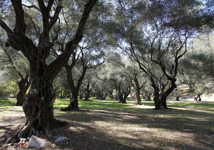 Korfu - Kerasia - Olivenbäume -  - Corfu - Kerkyra
