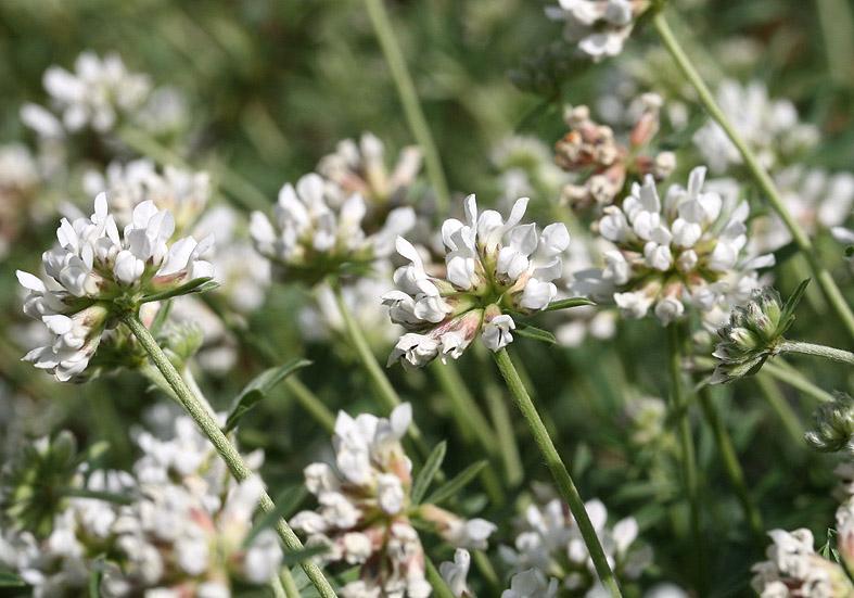 Dorycnium herbaceum - Krautiger Backenklee   - Fam. Fabaceae - Trockenrasen - dry grasslands