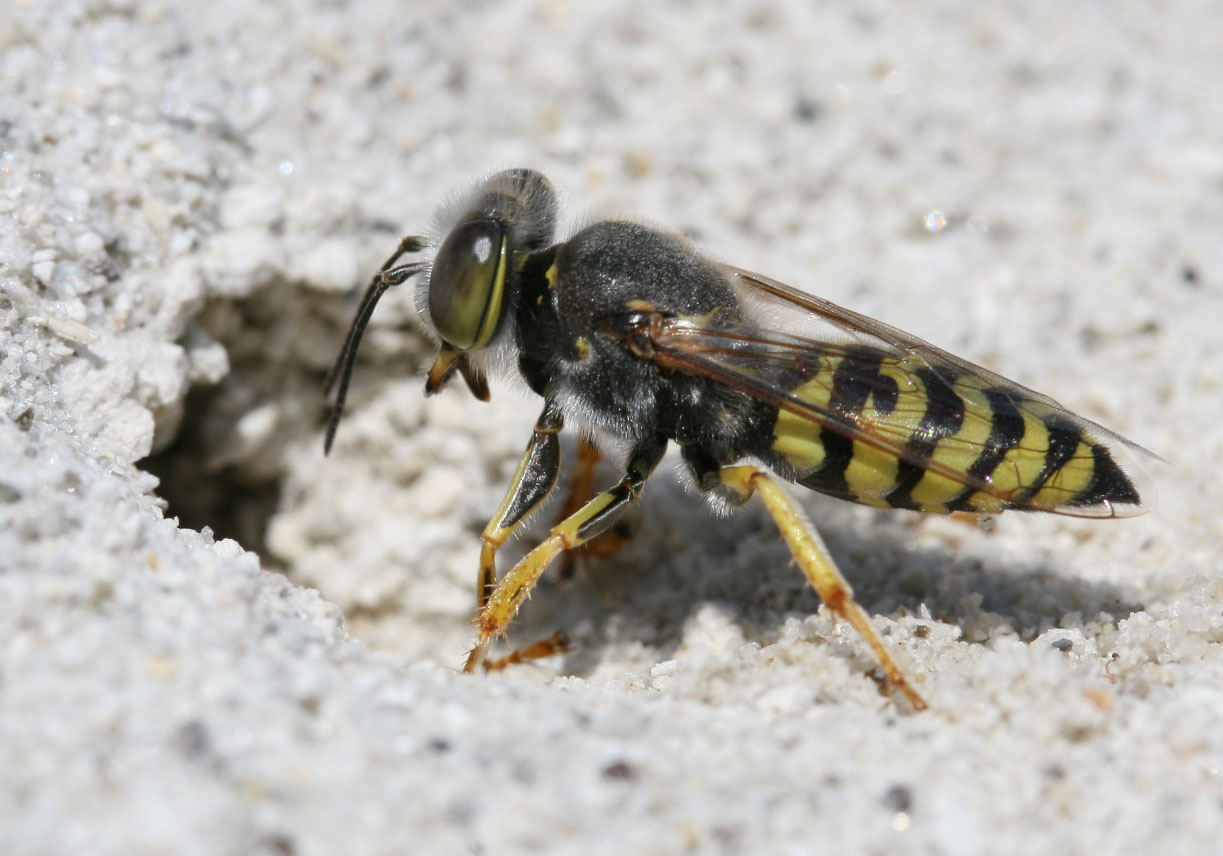 Bembix oculata - Kreiselwespe - Milos - Sphecidae - Grabwespen - thread-waisted wasps