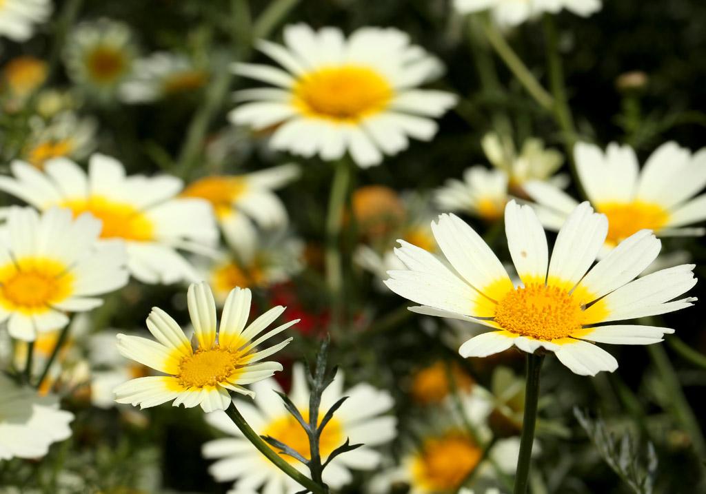 Kronen-Wucherblumen - Glebionis coronaria -  - Margeriten - chrysanthemum